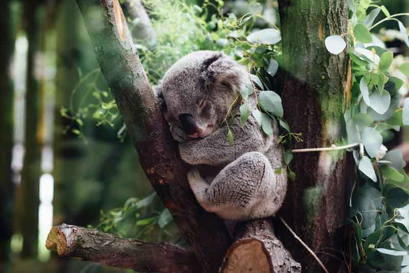 Sleeping Koala Bear